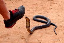 Forest cobra.